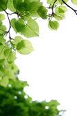 Leafage of acacia. — Stockfoto