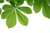 Leaf of chestnut — Stock Photo