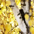 Stock Photo: Birch
