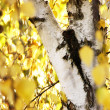 Royalty-Free Stock Photo: Birch