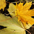 Autumn leaves — Stock Photo #1187856