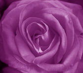 Purple rose — Stock Photo