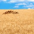 Wheat Field — Stock Photo #1091141