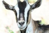 She-goat — Stockfoto