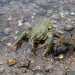 River crayfish - Stock Photo