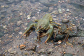 River crayfish — Stock Photo