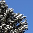 Winter Fir-Tree — Stock Photo