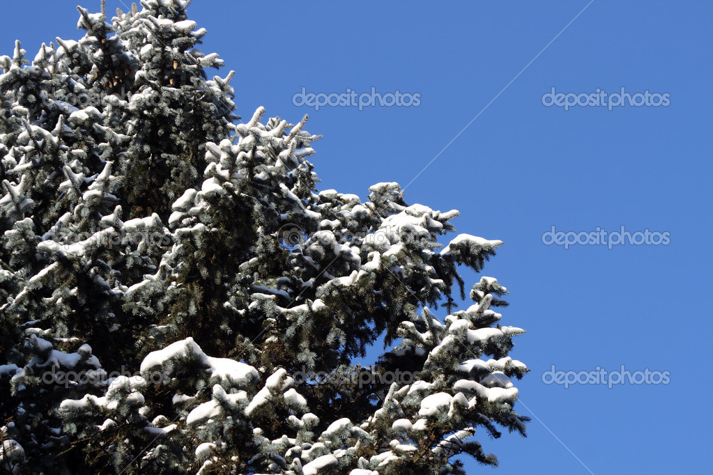 Nice big fir-tree with snow on blue sky background — Stock Photo #1437318