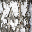 Birch Textured — Stock Photo