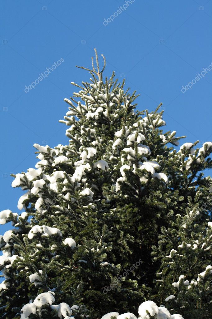 Closeup of high fir tree at snow on background with blue sky — Zdjęcie stockowe #1572765
