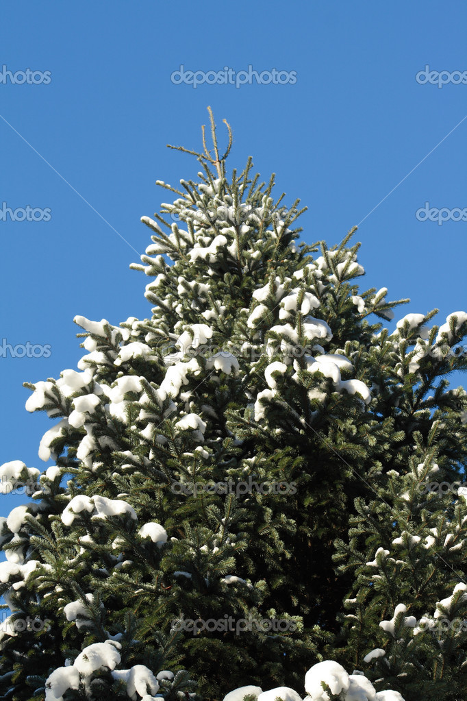 Closeup of high fir tree at snow on background with blue sky   #1572765