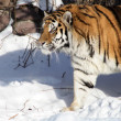 Siberian Tiger In Winter — Stock Photo #2026360