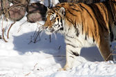Siberian Tiger In Winter — Stock Photo