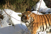 Siberian Tiger In Winter Forest — Stock Photo