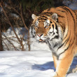Siberian Tiger In Winter Forest - Stock Photo