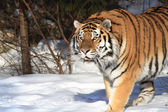 Siberian Tiger In Winter Forest — Stockfoto