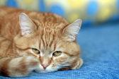 Ritratto di gatto zenzero — Foto Stock