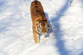 Siberian Tiger On Snow Field — Stock Photo
