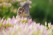Butterfly on sedum — Stock Photo