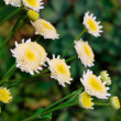 Chrysanthemum — Stock Photo #1042727