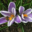 Stock Photo: Bee_crocus