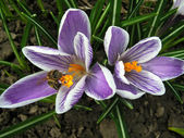 Bee_crocus — Stock Photo