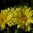 Chrysanthemum — Stock Photo #1059325