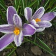 Stock Photo: Crocus