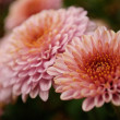 Chrysanthemum — Stock Photo #1059705