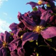 Clematis Jackmanii — Stock Photo
