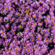 Stock Photo: Aster