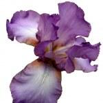 Iris — Stock Photo #1086901