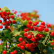 Viburnum - Photo