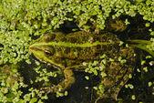 Frog — Stock Photo