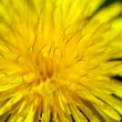 dandelion — Stock Photo #2244809