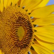 Yellow sunflower — Stock Photo #2303250