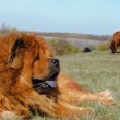 Guard breed of dog chow-chow — Stock Photo #2397735