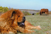Guard breed of dog chow-chow — Stock Photo