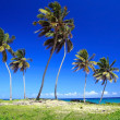 Lot of Dominicans palms — Stock Photo #1059415