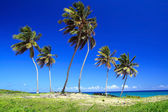 A lot of Dominicans palms — Stock Photo