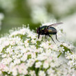 Closed up fly on  flower — Stock Photo