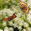 Stock Photo: Two butterflies on flowers