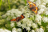 Two butterflies on flowers — Stock Photo
