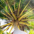 Palm on the  dominican beach — Stock Photo