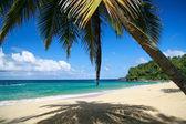 Caribbean beach with palm — Stock Photo