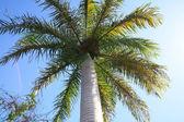 Caribbean palm — Stock Photo