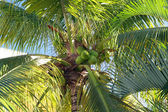 Palm with green coconut — Stock Photo