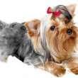 Pet dog — Stock Photo #1085055