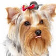 Yorkshire Terrier — Stock Photo #1085063
