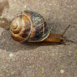 Royalty-Free Stock Photo: Snail